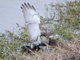 _MG_4613 Red-tailed Hawk taking Mallard.jpg