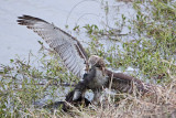 _MG_4614 Red-tailed Hawk taking Mallard.jpg