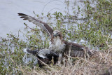_MG_4615 Red-tailed Hawk taking Mallard.jpg
