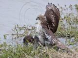 _MG_4642 Red-tailed Hawk taking Mallard.jpg