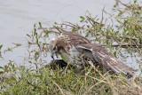 _MG_4680 Red-tailed Hawk taking Mallard.jpg