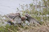 _MG_4776 Red-tailed Hawk taking Mallard.jpg