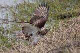_MG_4802 Red-tailed Hawk taking Mallard.jpg