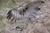 _MG_5248 Red-tailed Hawk taking Mallard.jpg