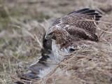 _MG_5254 Red-tailed Hawk taking Mallard.jpg