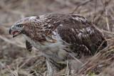 _MG_5516 Red-tailed Hawk taking Mallard.jpg