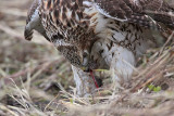 _MG_5600 Red-tailed Hawk taking Mallard.jpg