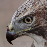 _MG_5749crop Red-tailed Hawk.jpg
