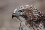 _MG_5759 Red-tailed Hawk.jpg