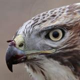 _MG_5759crop Red-tailed Hawk.jpg