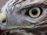 _MG_5759crop2 Red-tailed Hawk.jpg