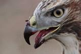 _MG_5761crop Red-tailed Hawk.jpg
