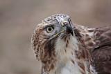 _MG_5791 Red-tailed Hawk.jpg