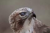 _MG_5830 Red-tailed Hawk.jpg