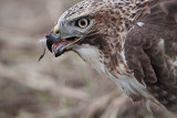 _MG_5880 Red-tailed Hawk taking Mallard.jpg