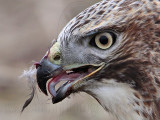 _MG_5880crop Red-tailed Hawk taking Mallard.jpg