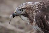 _MG_5881 Red-tailed Hawk taking Mallard.jpg