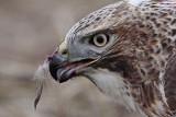 _MG_5882 Red-tailed Hawk taking Mallard.jpg