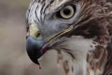 _MG_5929 crop Red-tailed Hawk taking Mallard.jpg