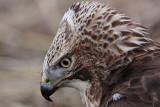 _MG_5930 Red-tailed Hawk taking Mallard.jpg