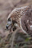 _MG_6058 Red-tailed Hawk taking Mallard.jpg