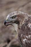 _MG_6114 Red-tailed Hawk taking Mallard.jpg