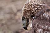 _MG_6128 Red-tailed Hawk.jpg