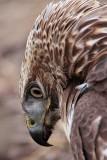 _MG_6128crop Red-tailed Hawk.jpg