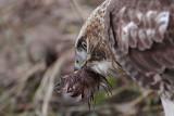 _MG_6145 Red-tailed Hawk taking Mallard.jpg