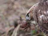 _MG_6155 Red-tailed Hawk taking Mallard.jpg