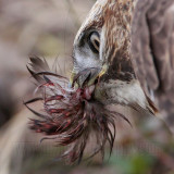 _MG_6155crop Red-tailed Hawk taking Mallard.jpg