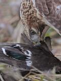 _MG_6172 Red-tailed Hawk taking Mallard.jpg