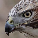 _MG_6227 Red-tailed Hawk taking Mallard.jpg