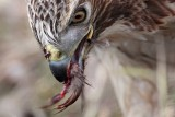 _MG_6247 Red-tailed Hawk taking Mallard.jpg