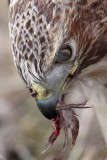 _MG_6248crop Red-tailed Hawk taking Mallard.jpg