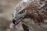 _MG_6318 Red-tailed Hawk taking Mallard.jpg
