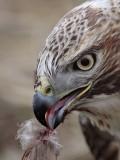 _MG_6318crop Red-tailed Hawk taking Mallard.jpg