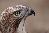 _MG_6679 Red-tailed Hawk.jpg