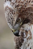 _MG_6824 Red-tailed Hawk.jpg