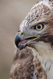 _MG_6841 Red-tailed Hawk taking Mallard.jpg