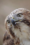 _MG_6848 Red-tailed Hawk.jpg