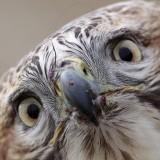 _MG_6861crop Red-tailed Hawk.jpg