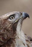 _MG_6901 Red-tailed Hawk.jpg