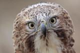 _MG_6911 Red-tailed Hawk.jpg