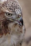 _MG_7066 Red-tailed Hawk taking Mallard.jpg