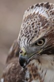 _MG_7207 Red-tailed Hawk taking Mallard.jpg