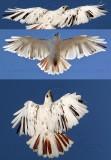 Leucistic Red-tailed Hawk - Katy - Texas -  January 2010