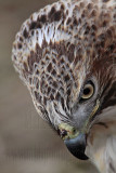 _MG_7316 Red-tailed Hawk.jpg