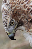 _MG_7333 Red-tailed Hawk.jpg