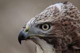 _MG_7346 Red-tailed Hawk.jpg